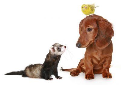 хорек и домашние животные