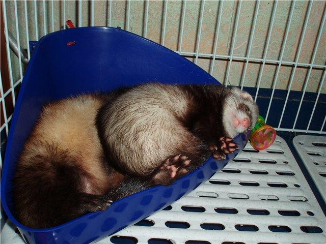 спящие хорьки в клетке