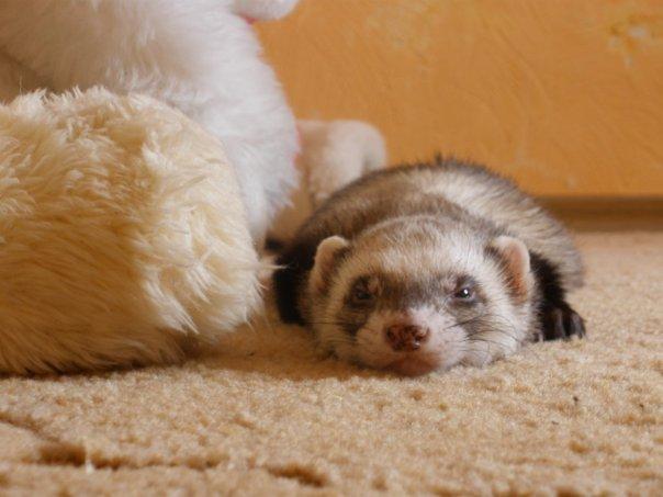 Спящие хорьки